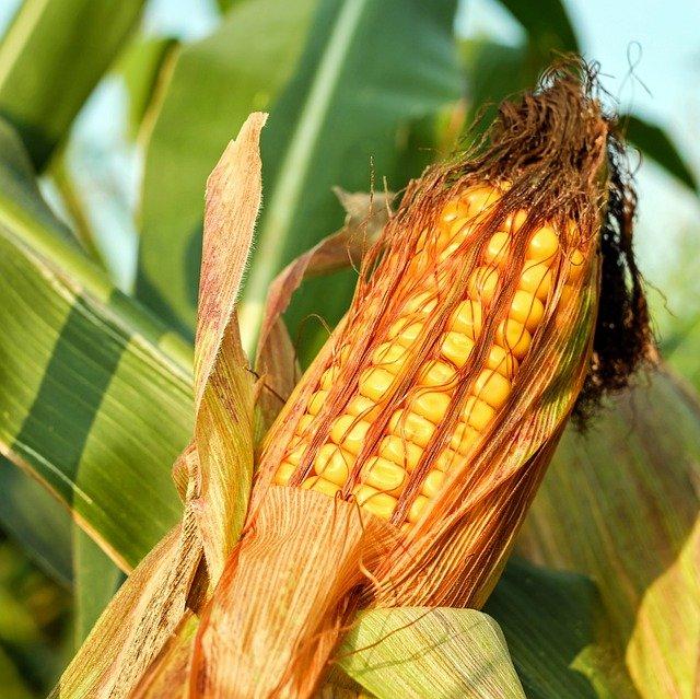 Maize corn on cob