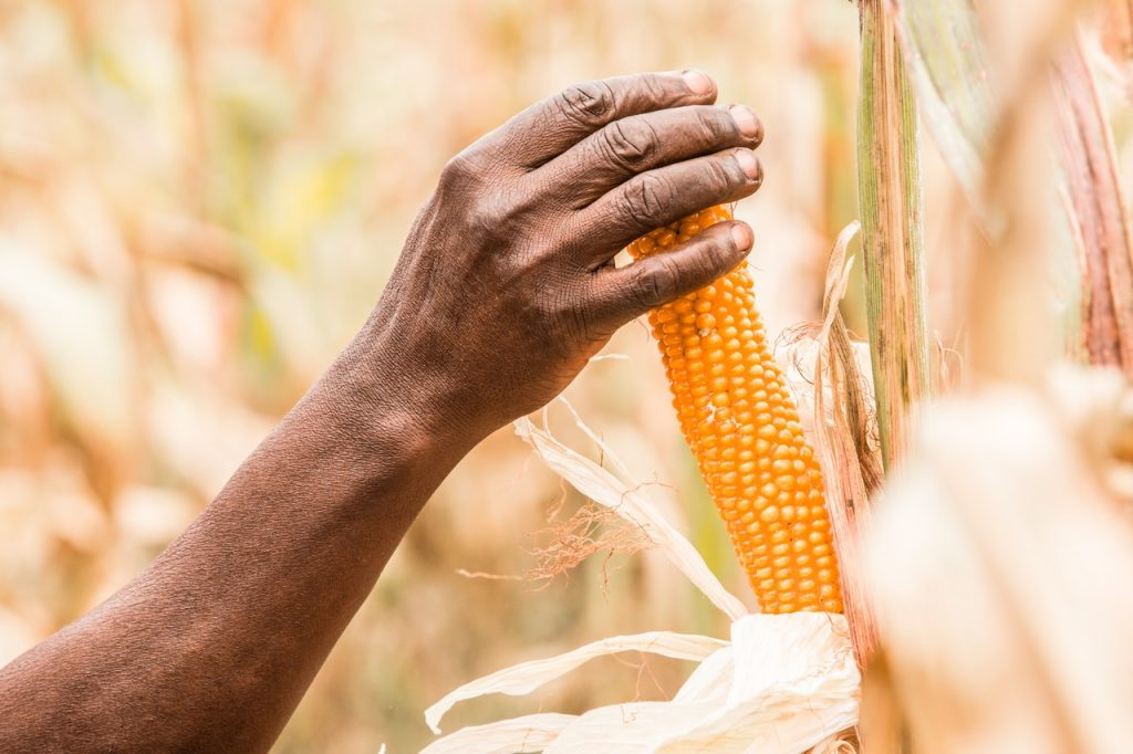 person holding corn on its plant