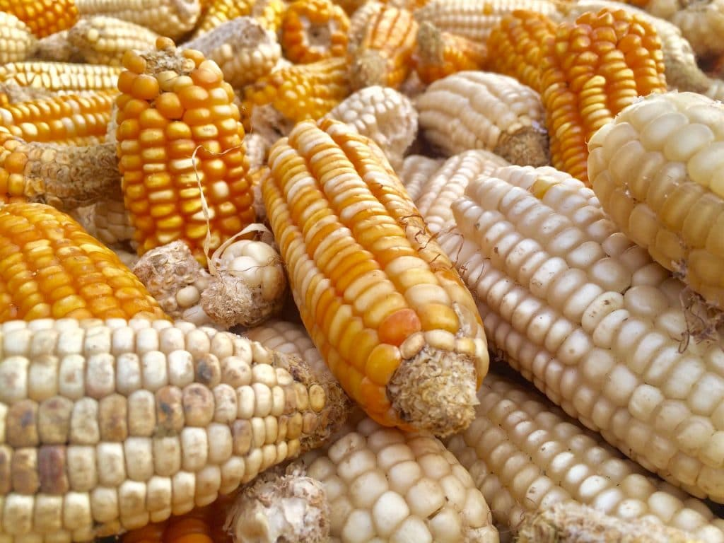 harvested maize